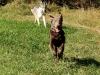 Smokie lässt sich von Wolf jagen