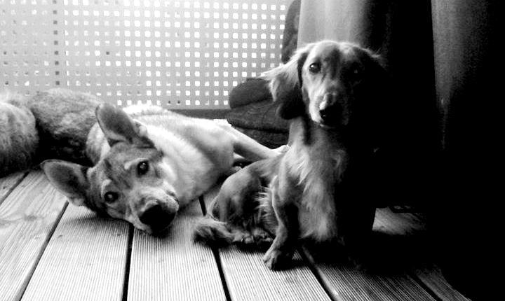 Ein Dackel ist kein Hund sondern ein Dackel